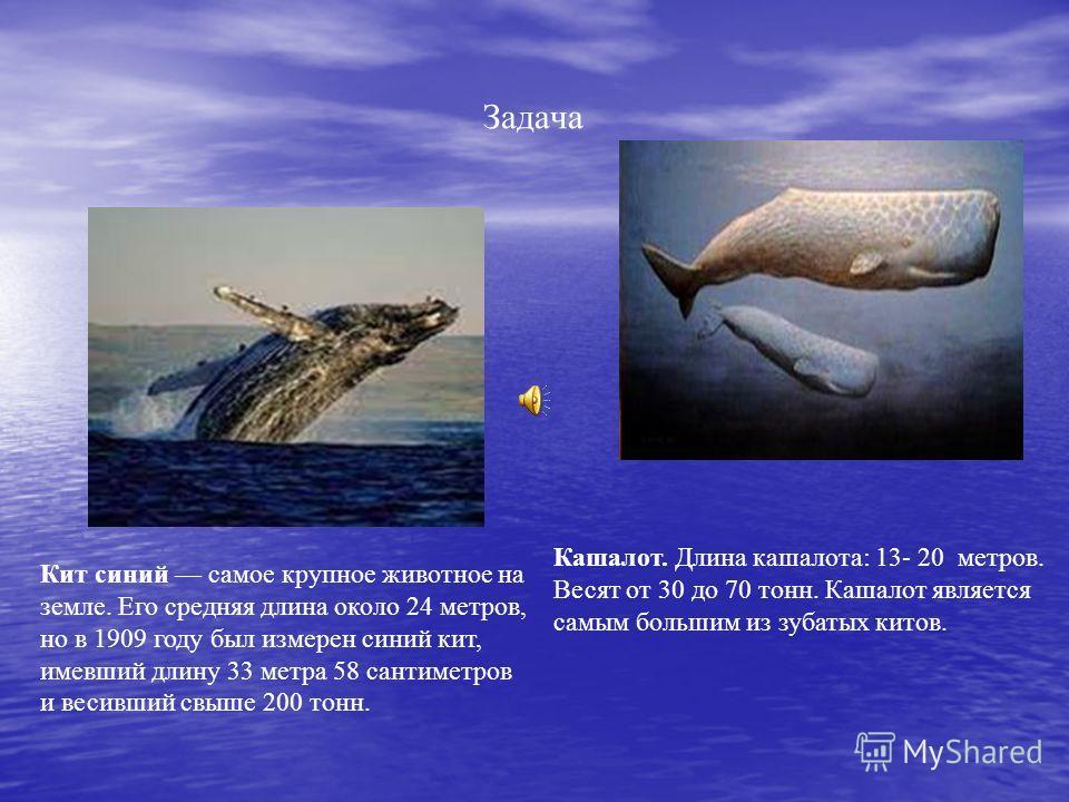 Задача Кит синий самое крупное животное на земле. Его средняя длина около 24 метров, но в 1909 году был измерен синий кит, имевший длину 33 метра 58 сантиметров и весивший свыше 200 тонн. Кашалот. Длина кашалота: 13- 20 метров. Весят от 30 до 70 тонн