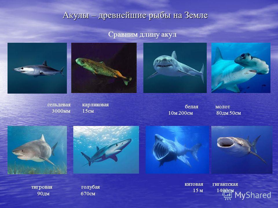 Акулы – древнейшие рыбы на Земле Сравним длину акул сельдевая карликовая 3000мм 15см белая молот 10м 200см 80дм 50см тигровая голубая 90дм 670см китоваягигантская 15 м 1400см