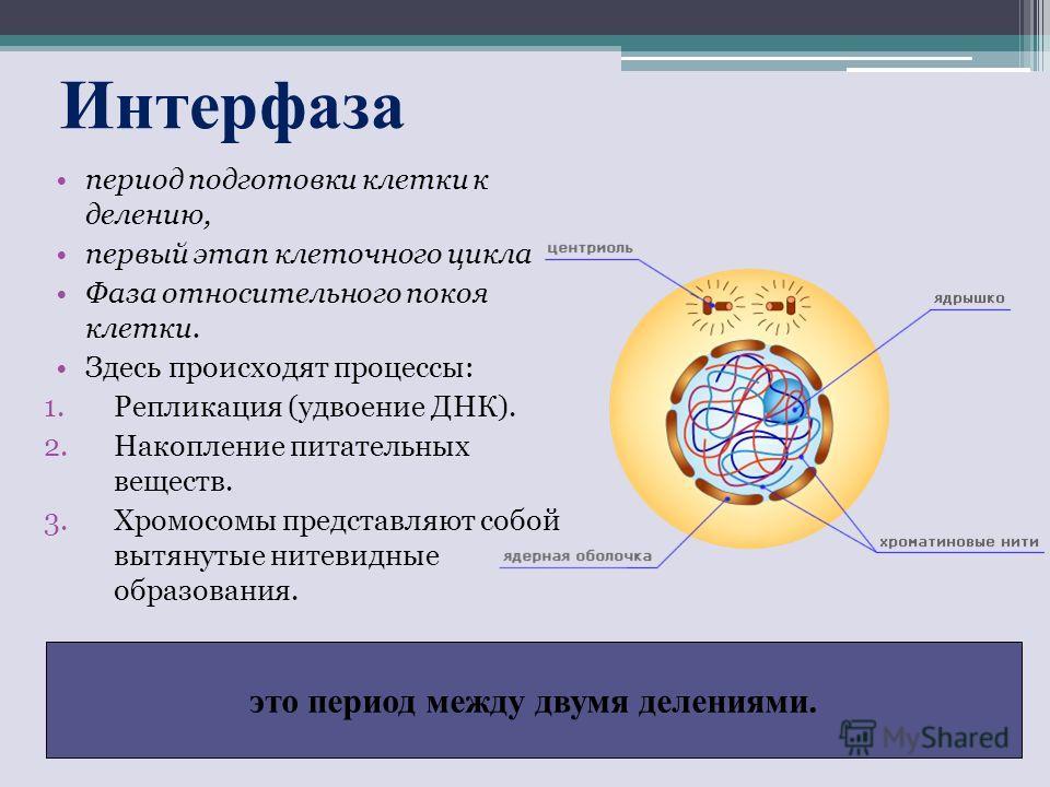 Интерфаза это период между двумя делениями. период подготовки клетки к делению, первый этап клеточного цикла Фаза относительного покоя клетки. Здесь происходят процессы: 1.Репликация (удвоение ДНК). 2.Накопление питательных веществ. 3.Хромосомы предс