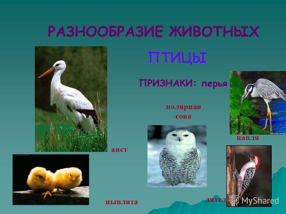 ПРИЗНАКИ: перья аист полярная сова цыплята дятел цапля РАЗНООБРАЗИЕ ЖИВОТНЫХ ПТИЦЫ