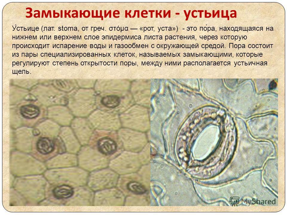 Замыкающие клетки - устьица У́стьице (лат. stoma, от греч. στόμα «рот, уста») - это по́ра, находящаяся на нижнем или верхнем слое эпидермиса листа растения, через которую происходит испарение воды и газообмен с окружающей средой. Пора состоит из пары