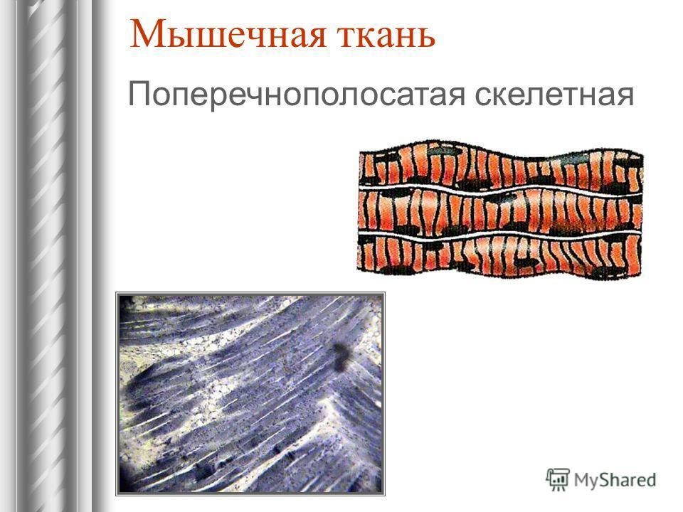 Мышечная ткань Поперечнополосатая скелетная