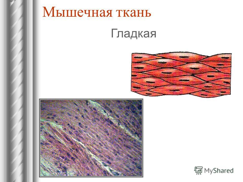 Мышечная ткань Гладкая