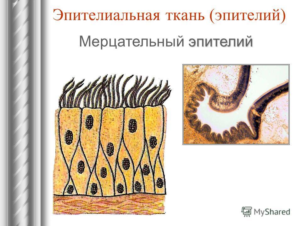 Эпителиальная ткань (эпителий) эпителий Мерцательный эпителий
