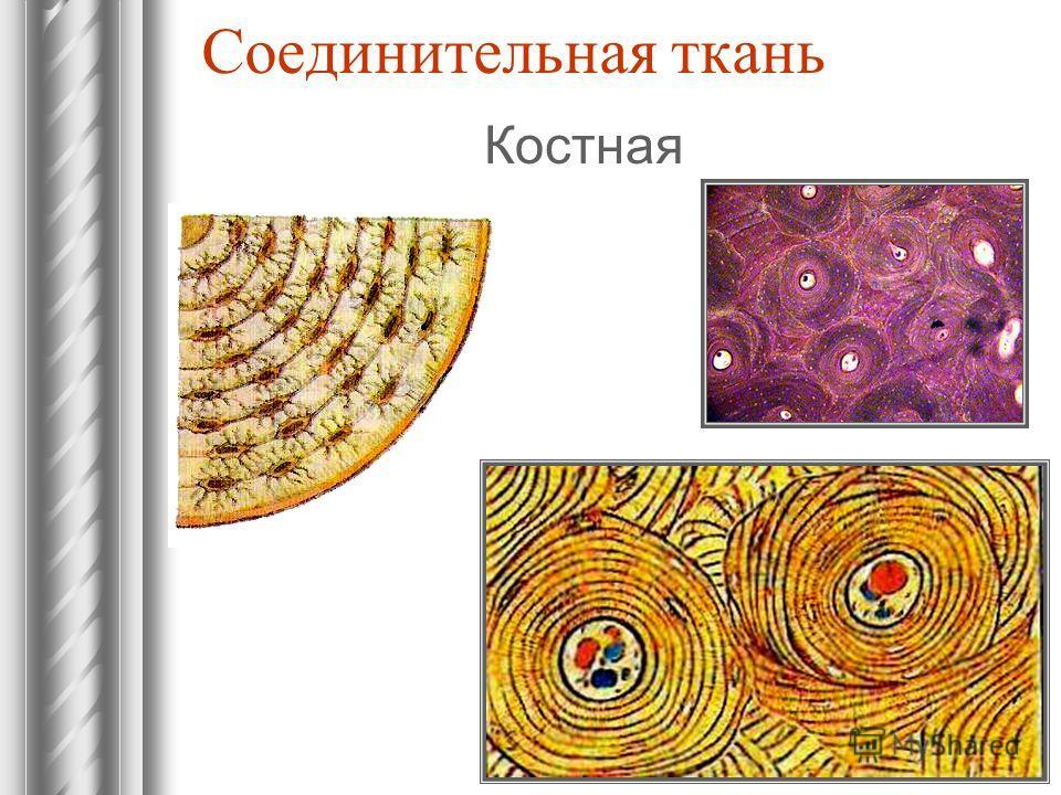 Соединительная ткань Костная