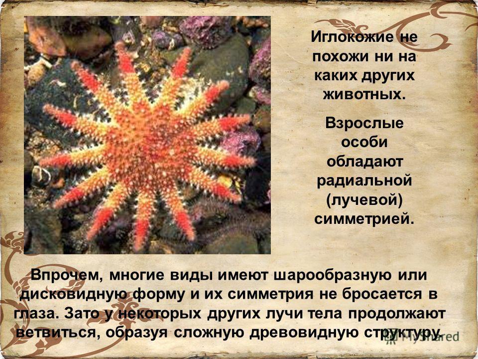 Впрочем, многие виды имеют шарообразную или дисковидную форму и их симметрия не бросается в глаза. Зато у некоторых других лучи тела продолжают ветвиться, образуя сложную древовидную структуру. Иглокожие не похожи ни на каких других животных. Взрослы
