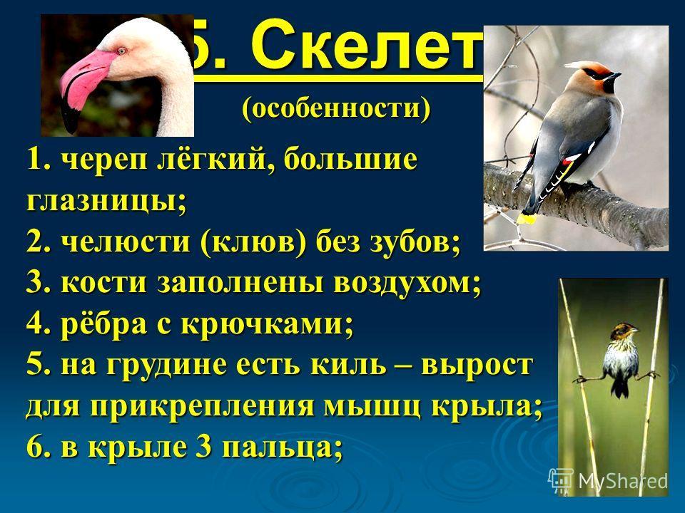 5. Скелет: (особенности) 1. череп лёгкий, большие глазницы; 2. челюсти (клюв) без зубов; 3. кости заполнены воздухом; 4. рёбра с крючками; 5. на грудине есть киль – вырост для прикрепления мышц крыла; 6. в крыле 3 пальца;