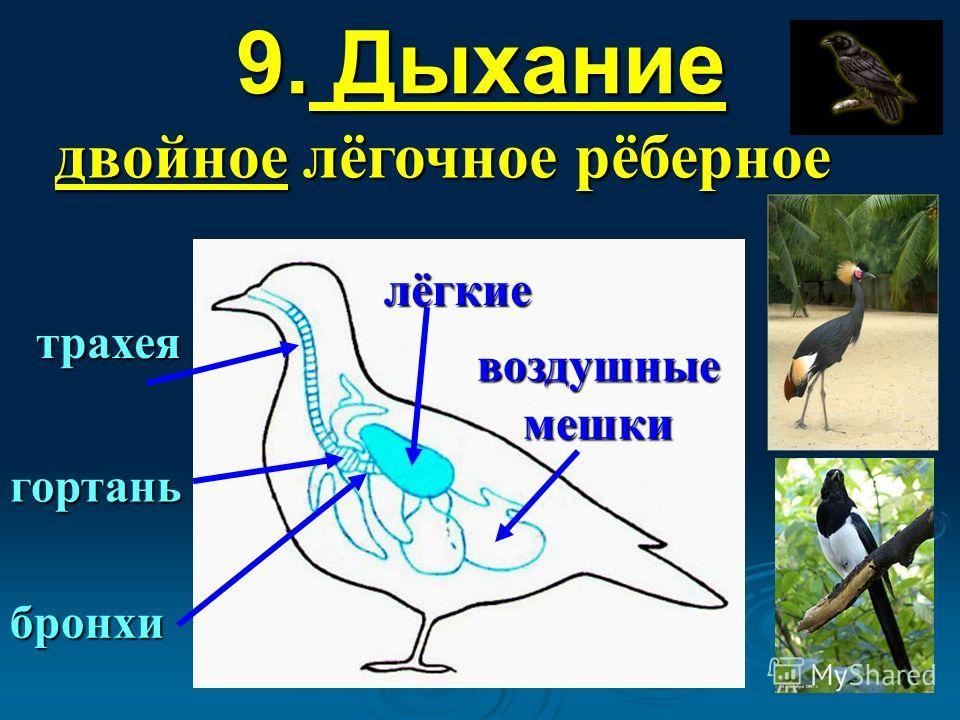 9. Дыхание двойное лёгочное рёберное трахея гортань бронхи лёгкие воздушные мешки