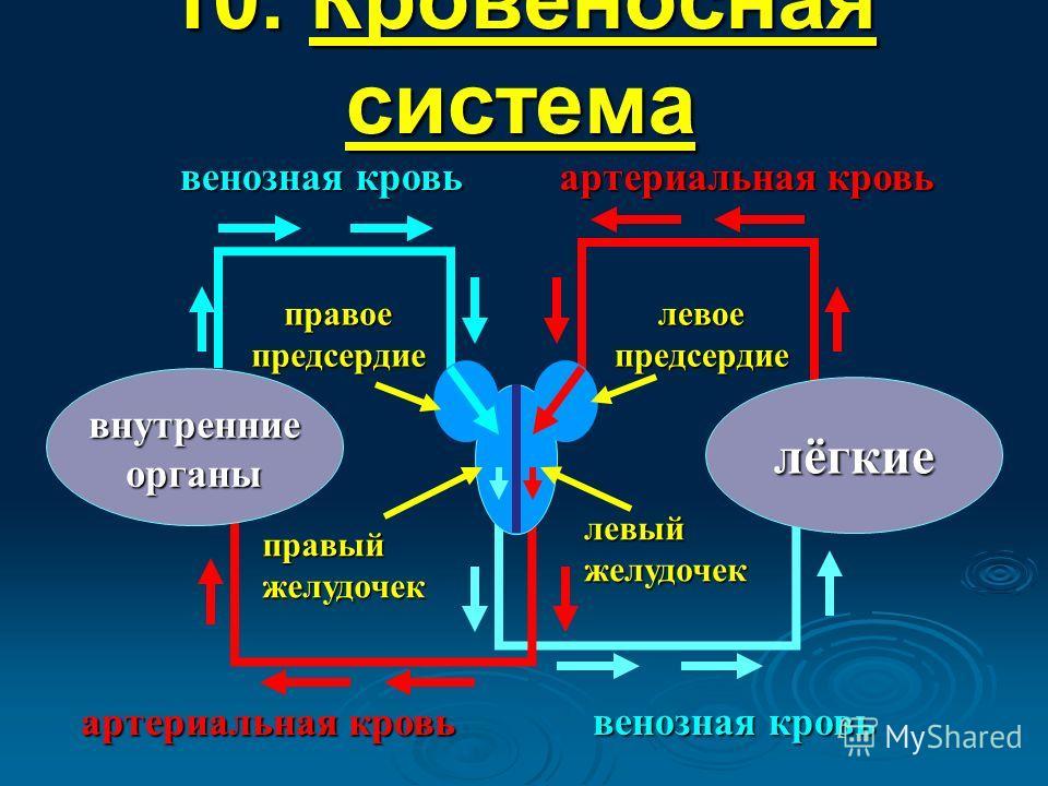 10. Кровеносная система лёгкие внутренние органы правый желудочек правое предсердие левое предсердие артериальная кровь венозная кровь артериальная кровь венозная кровь левый желудочек