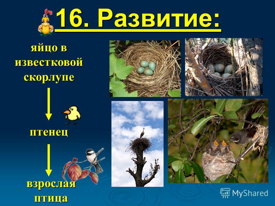16. Развитие: яйцо в известковой скорлупе птенец взрослая птица