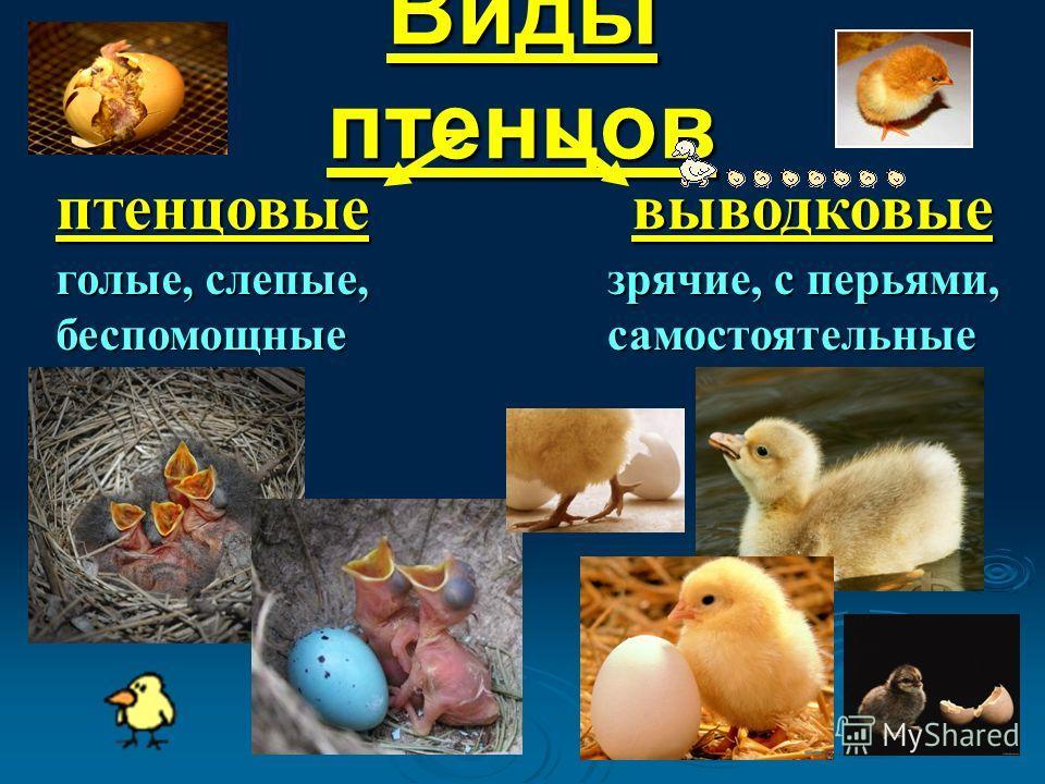 Виды птенцов птенцовыевыводковые голые, слепые, беспомощные зрячие, с перьями, самостоятельные