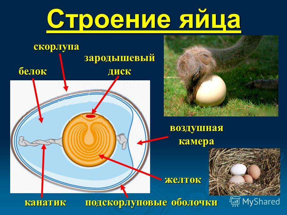 Строение яйца зародышевый диск скорлупа воздушная камера подскорлуповые оболочки белок желток канатик