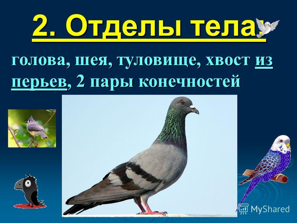 2. Отделы тела: голова, шея, туловище, хвост из перьев, 2 пары конечностей