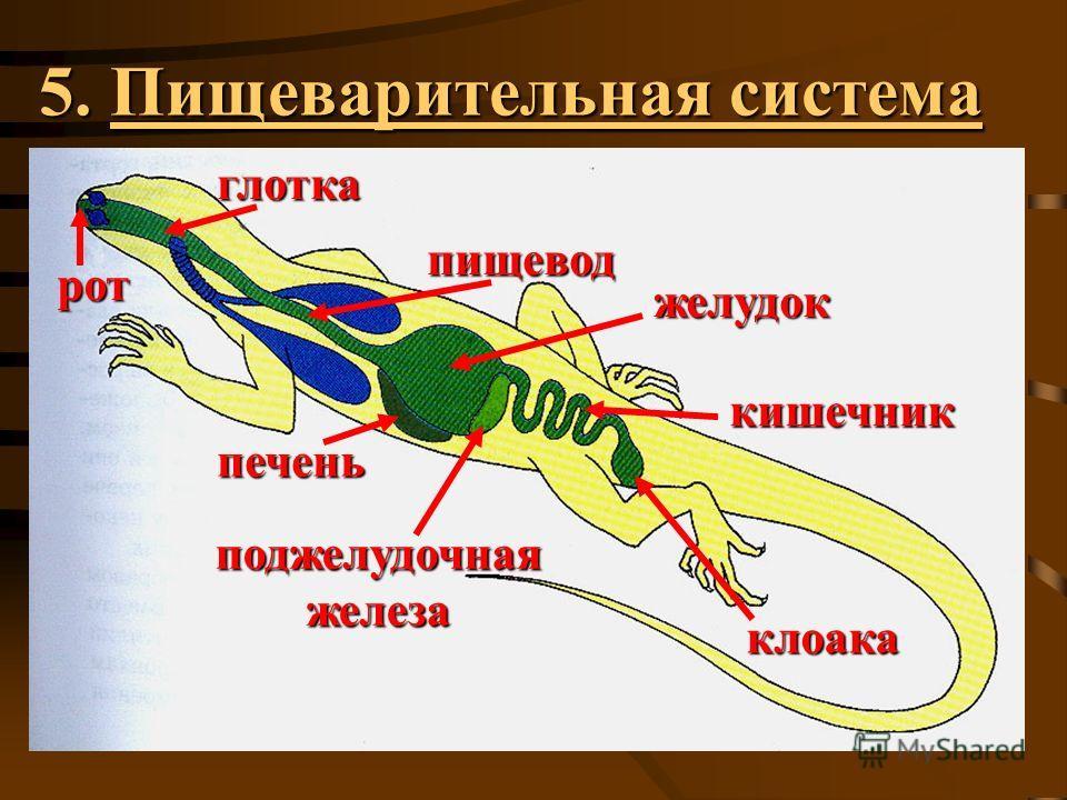 5. Пищеварительная система рот глотка пищевод печень желудок поджелудочная железа клоака кишечник