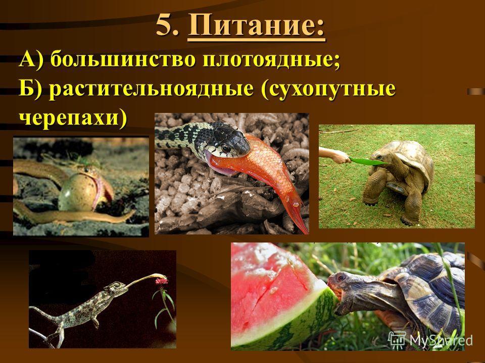 5. Питание: А) большинство плотоядные; Б) растительноядные (сухопутные черепахи)