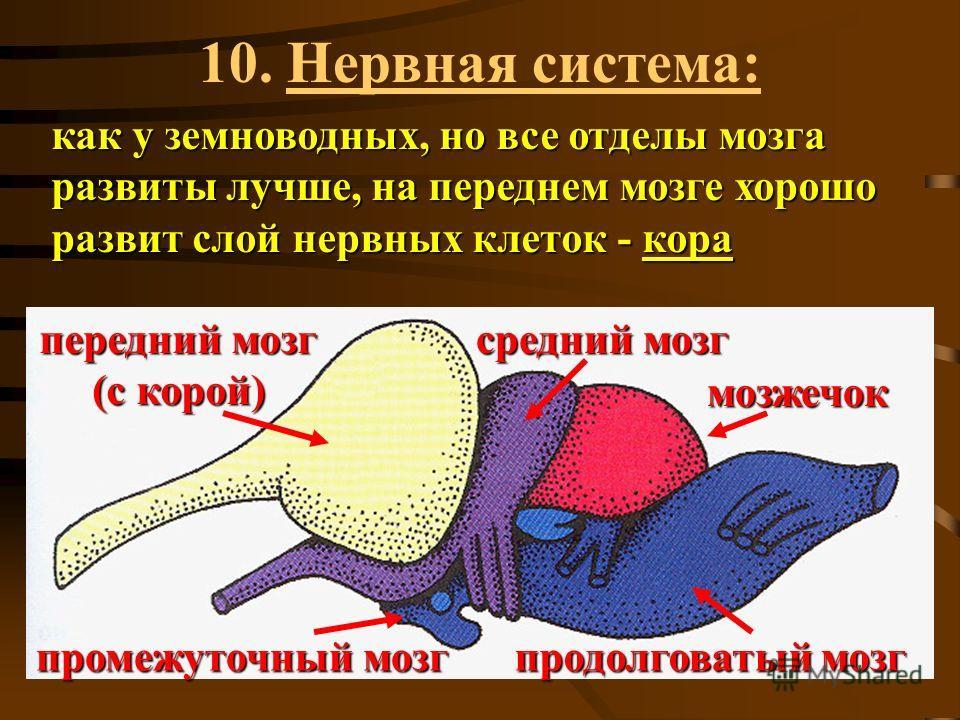 10. Нервная система: как у земноводных, но все отделы мозга развиты лучше, на переднем мозге хорошо развит слой нервных клеток - кора передний мозг (с корой) средний мозг промежуточный мозг продолговатый мозг мозжечок