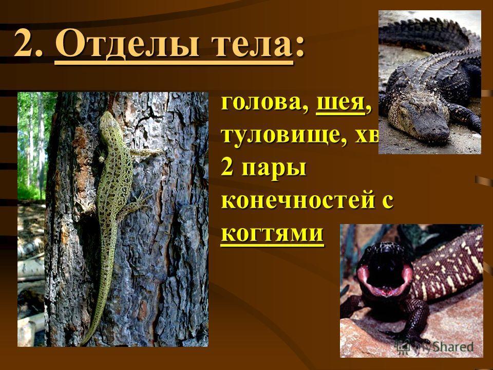 2. Отделы тела: голова, шея, туловище, хвост, 2 пары конечностей с когтями