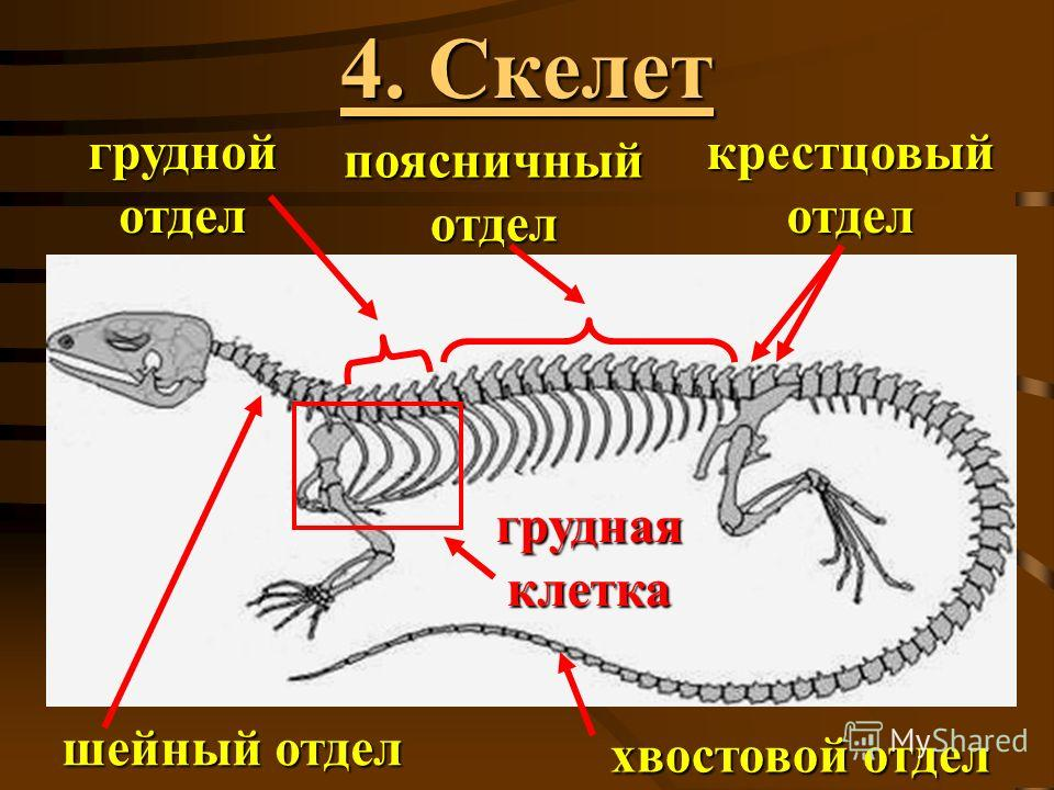 4. Скелет шейный отдел хвостовой отдел грудной отдел поясничный отдел крестцовый отдел грудная клетка