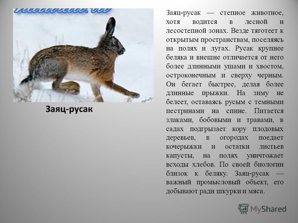 Заяц-русак Заяц-русак степное животное, хотя водится в лесной и лесостепной зонах. Везде тяготеет к открытым пространствам, поселяясь на полях и лугах. Русак крупнее беляка и внешне отличается от него более длинными ушами и хвостом, остроконечным и с