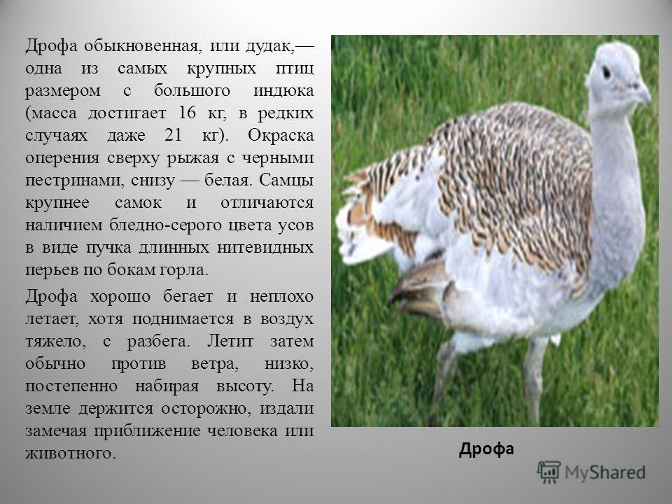 Дрофа Дрофа обыкновенная, или дудак, одна из самых крупных птиц размером с большого индюка (масса достигает 16 кг, в редких случаях даже 21 кг). Окраска оперения сверху рыжая с черными пестринами, снизу белая. Самцы крупнее самок и отличаются наличие