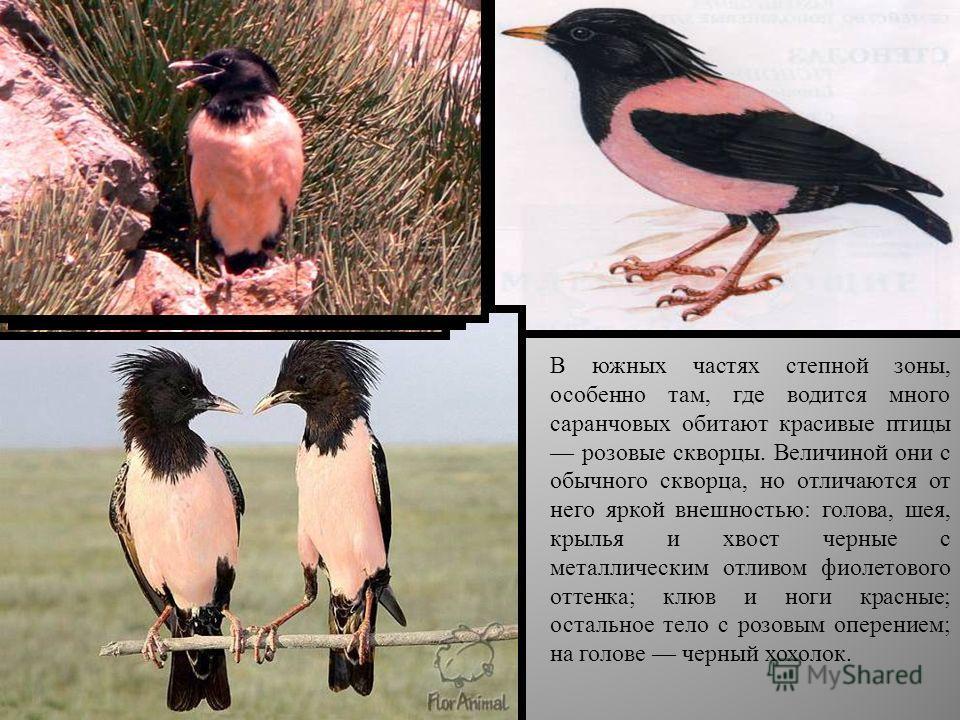 В южных частях степной зоны, особенно там, где водится много саранчовых обитают красивые птицы розовые скворцы. Величиной они с обычного скворца, но отличаются от него яркой внешностью: голова, шея, крылья и хвост черные с металлическим отливом фиоле