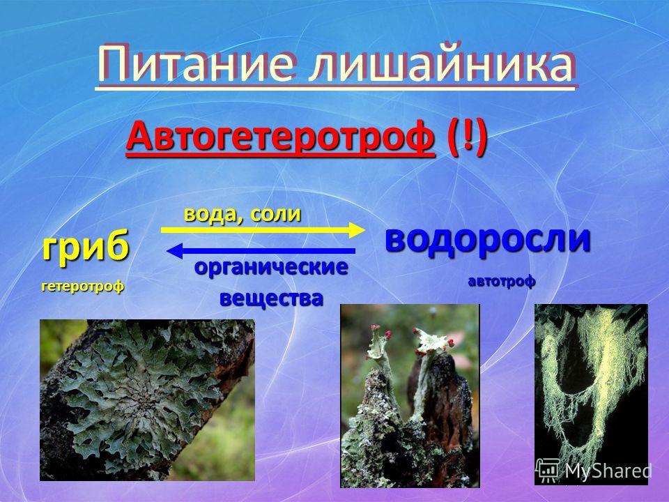 Питание лишайника Автогетеротроф (!) гриб водоросли вода, соли органическиевещества гетеротроф автотроф