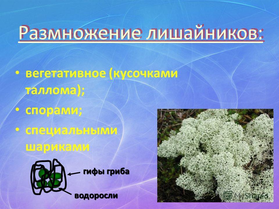 Размножение лишайников: вегетативное (кусочками таллома); спорами; специальными шариками гифы гриба водоросли