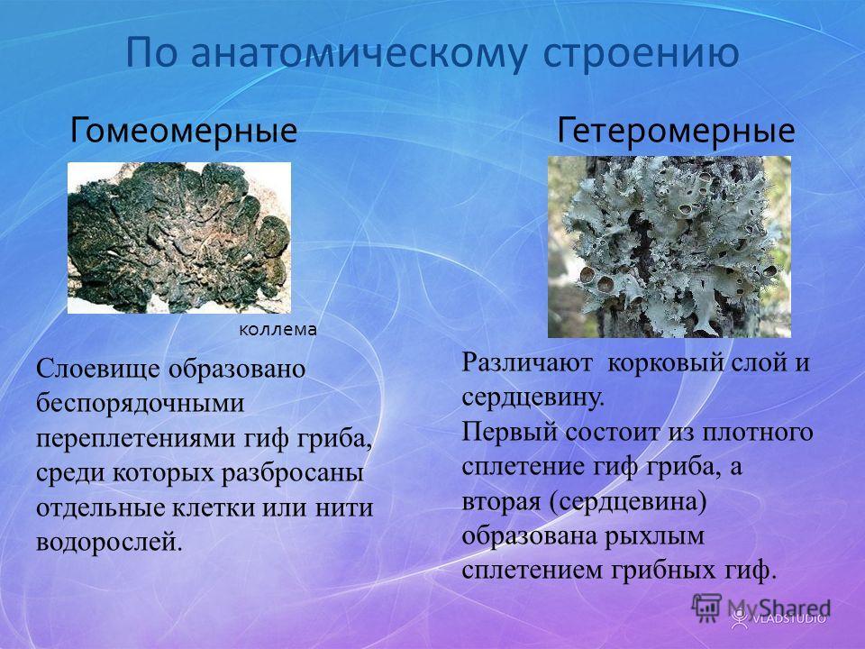 По анатомическому строению Различают корковый слой и сердцевину. Первый состоит из плотного сплетение гиф гриба, а вторая (сердцевина) образована рыхлым сплетением грибных гиф. Слоевище образовано беспорядочными переплетениями гиф гриба, среди которы