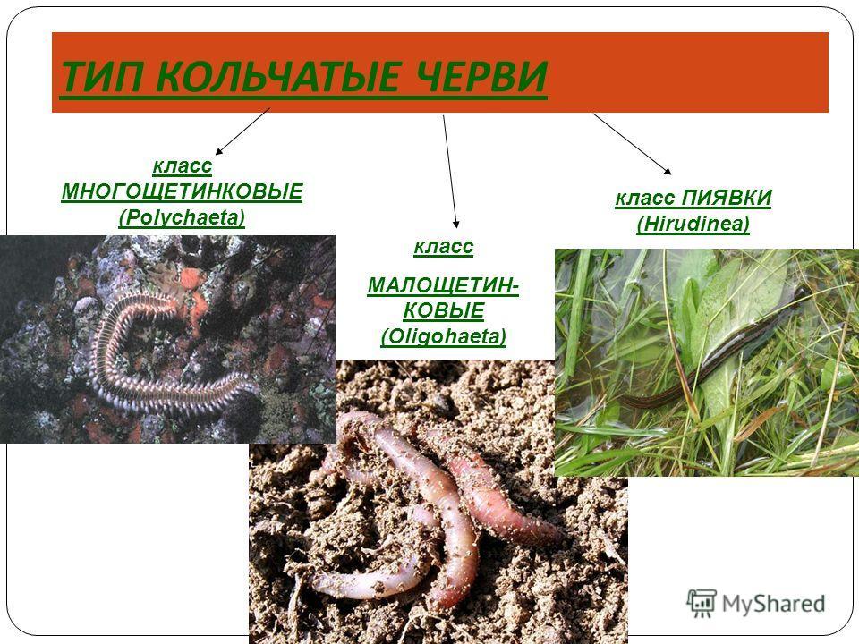 ТИП КОЛЬЧАТЫЕ ЧЕРВИ класс МНОГОЩЕТИНКОВЫЕ (Polychaeta) класс ПИЯВКИ (Hirudinea) класс МАЛОЩЕТИН- КОВЫЕ (Oligohaeta)