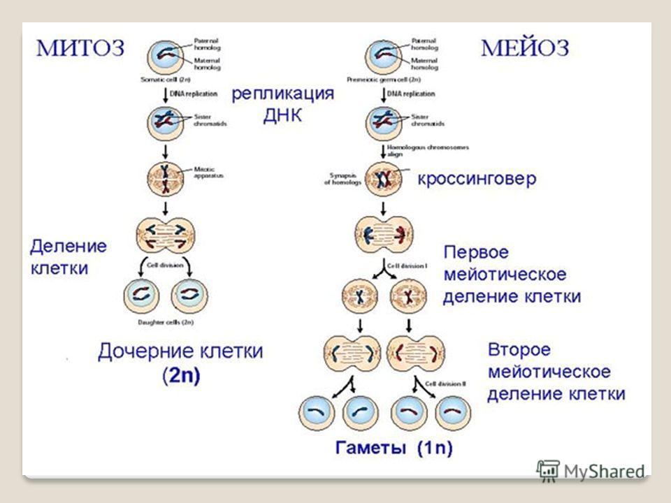 МитозМейоз 1. Происходит в соматических клетках 1. Происходит в созревающих половых клетках 2. Лежит в основе бесполого размножения 2. Лежит в основе полового размножения 3. Одно деление3. Два последовательных деления 4. Удвоение молекул ДНК происход