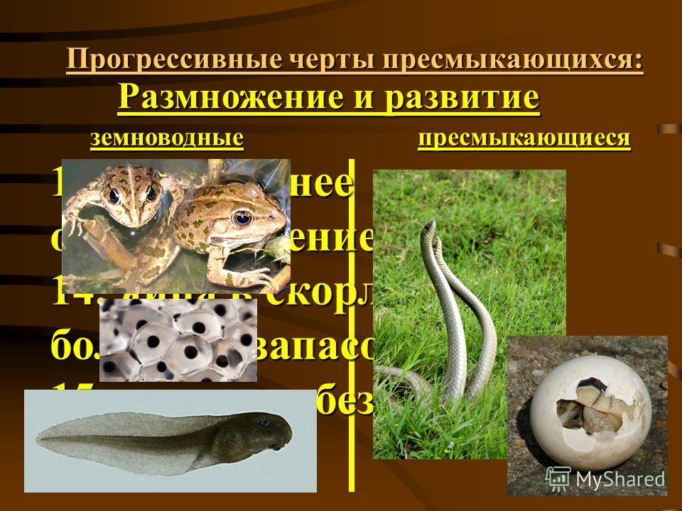 Прогрессивные черты пресмыкающихся: Размножение и развитие земноводныепресмыкающиеся 13. внутреннее оплодотворение; 14. яйца в скорлупе с большим запасом веществ; 15. развитие без личинки