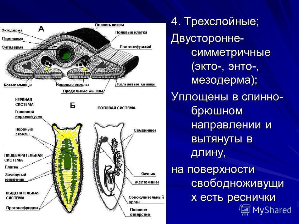 4. Трехслойные; Двусторонне- симметричные (экто-, энто-, мезодерма); Уплощены в спинно- брюшном направлении и вытянуты в длину, на поверхности свободноживущи х есть реснички