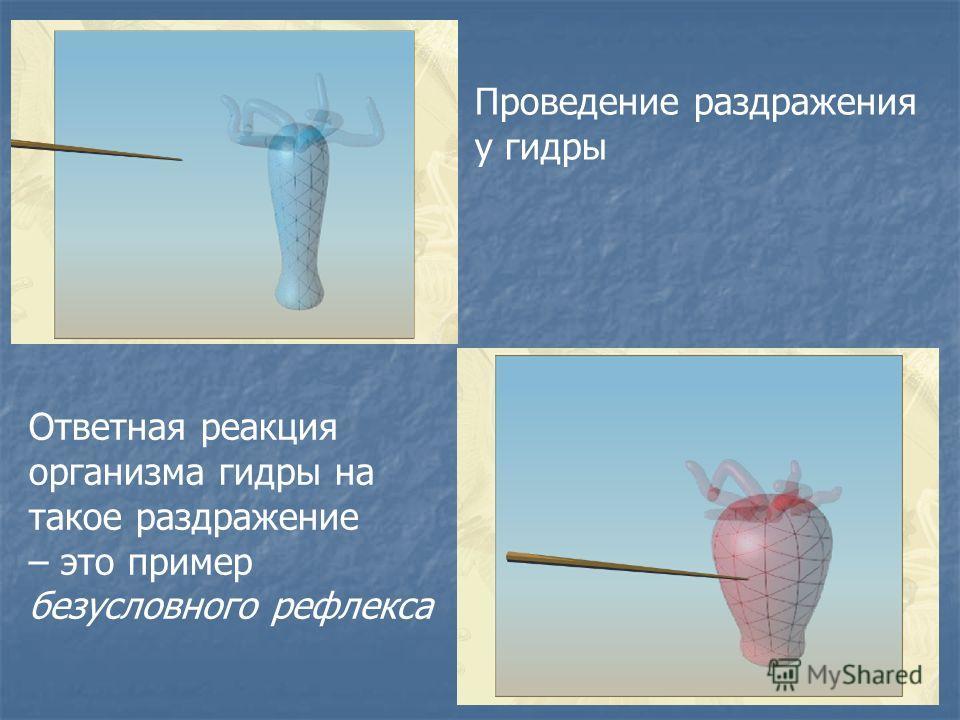 Проведение раздражения у гидры Ответная реакция организма гидры на такое раздражение – это пример безусловного рефлекса