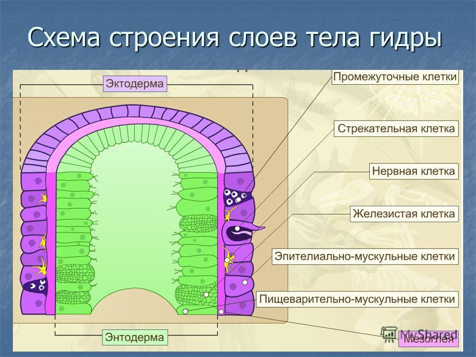 Схема строения слоев тела гидры