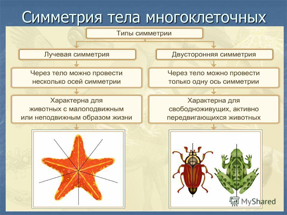 Симметрия тела многоклеточных