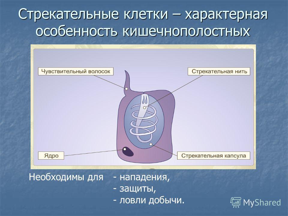 Стрекательные клетки – характерная особенность кишечнополостных Необходимы для- нападения, - защиты, - ловли добычи.
