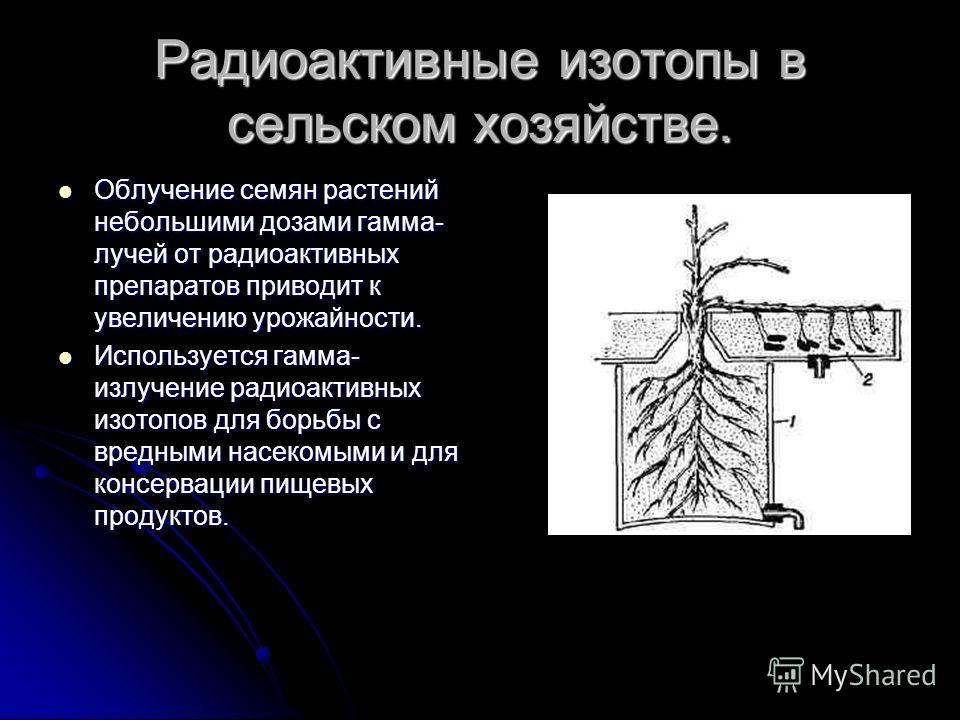 Радиоактивные изотопы в сельском хозяйстве. Облучение семян растений небольшими дозами гамма- лучей от радиоактивных препаратов приводит к увеличению урожайности. Облучение семян растений небольшими дозами гамма- лучей от радиоактивных препаратов при