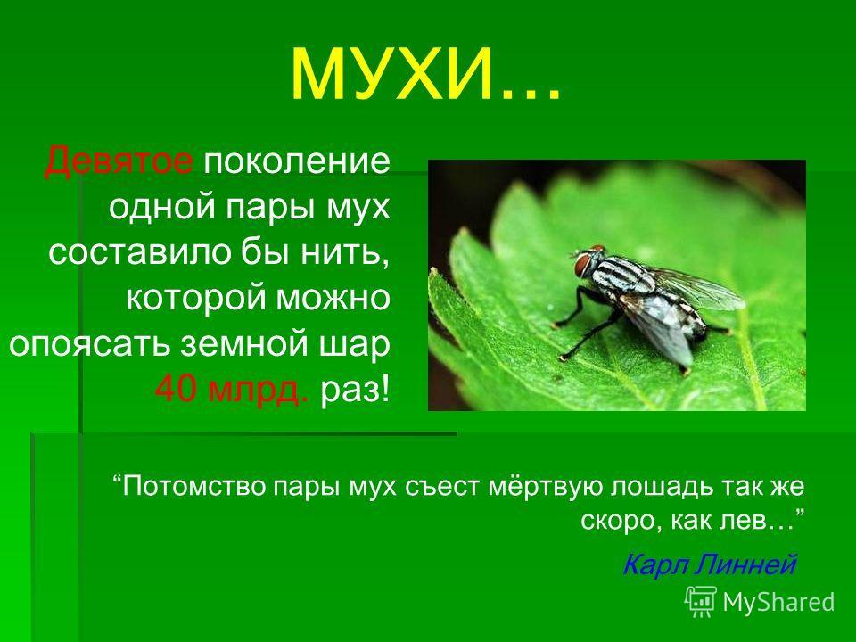 МУХИ… Девятое поколение одной пары мух составило бы нить, которой можно опоясать земной шар 40 млрд. раз! Потомство пары мух съест мёртвую лошадь так же скоро, как лев… Карл Линней