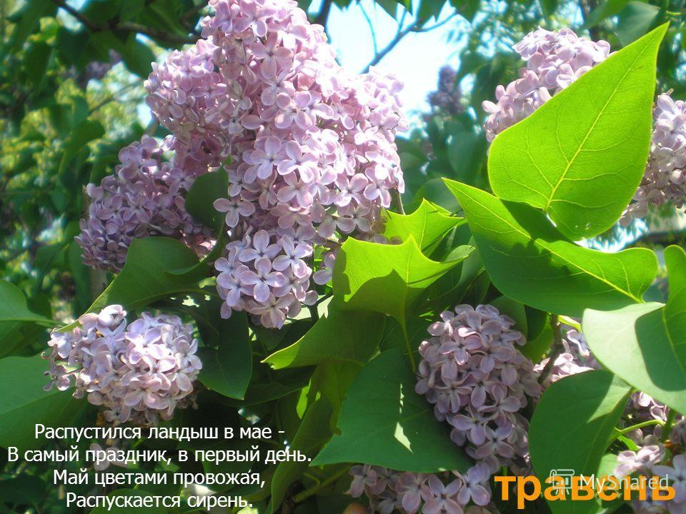 травень Распустился ландыш в мае - В самый праздник, в первый день. Май цветами провожая, Распускается сирень.