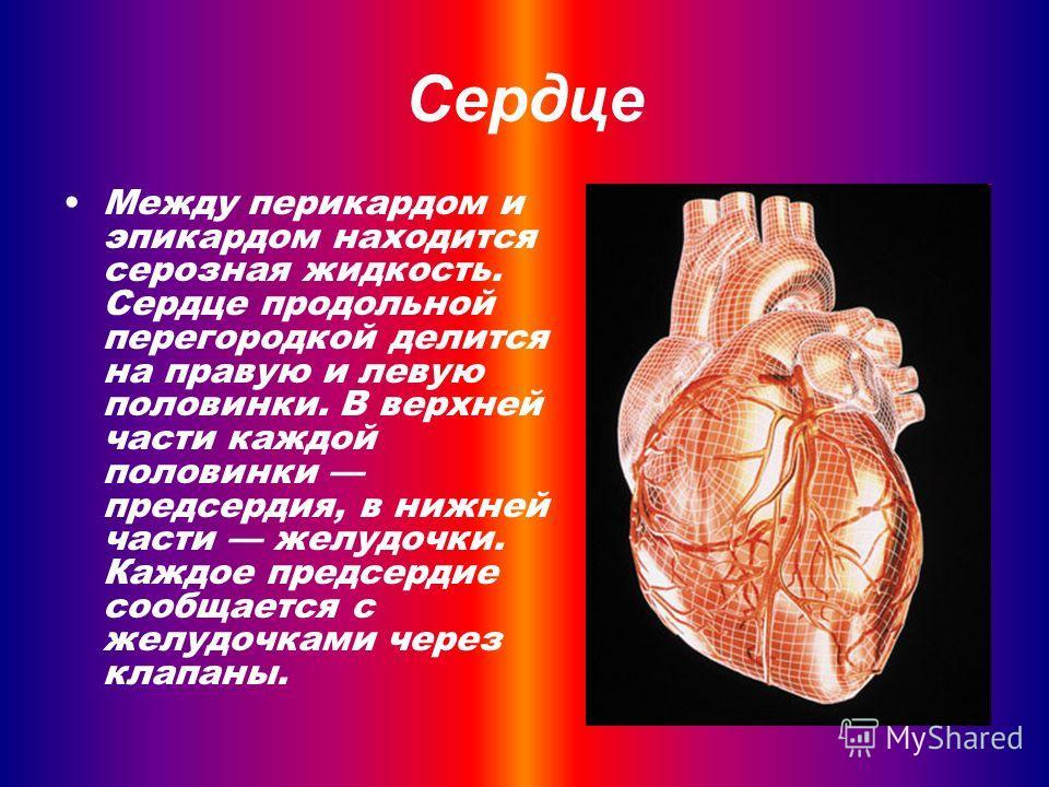 Между перикардом и эпикардом находится серозная жидкость. Сердце продольной перегородкой делится на правую и левую половинки. В верхней части каждой половинки предсердия, в нижней части желудочки. Каждое предсердие сообщается с желудочками через клап