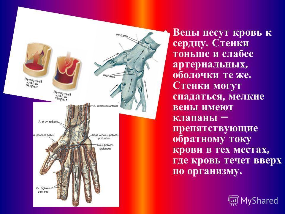 Вены несут кровь к сердцу. Стенки тоньше и слабее артериальных, оболочки те же. Стенки могут спадаться, мелкие вены имеют клапаны препятствующие обратному току крови в тех местах, где кровь течет вверх по организму.