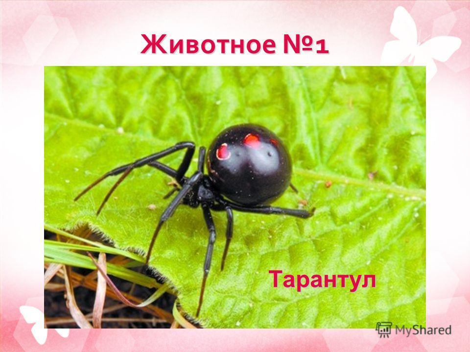 Животное 1 Тарантул