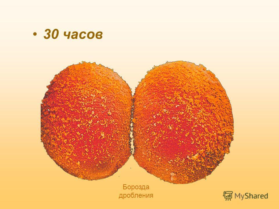 1.ДРОБЛЕНИЕ Оплодотворенная яйцеклетка СТАДИИ ЭМБРИОГЕНЕЗА 24 часа Основа -митоз Анимальный полюс Вегетативный полюс