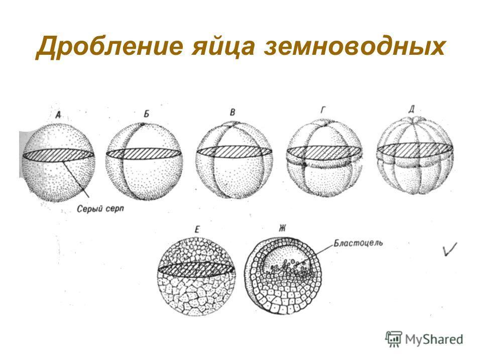 Проверь себя! 1.Бластула состоит из … 2.Имплантация яйцеклетки происходит в … 3.Для стадии зиготы характерно наличие: А) Эктодермы Б) Бластоцели В) Вегетативного полюса 4. Какой набор хромосом характерен для зиготы (n, 2n, 3n)? 5.Какой набор хромосом