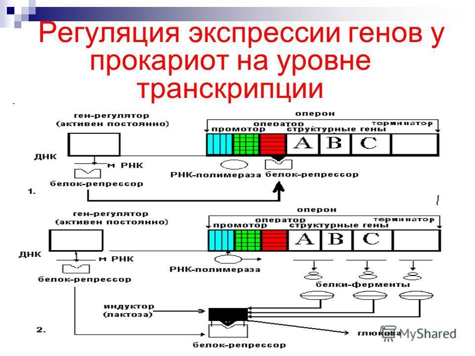 Регуляция экспрессии генов у прокариот на уровне транскрипции