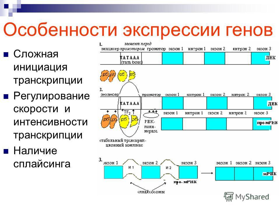 Особенности экспрессии генов Сложная инициация транскрипции Регулирование скорости и интенсивности транскрипции Наличие сплайсинга