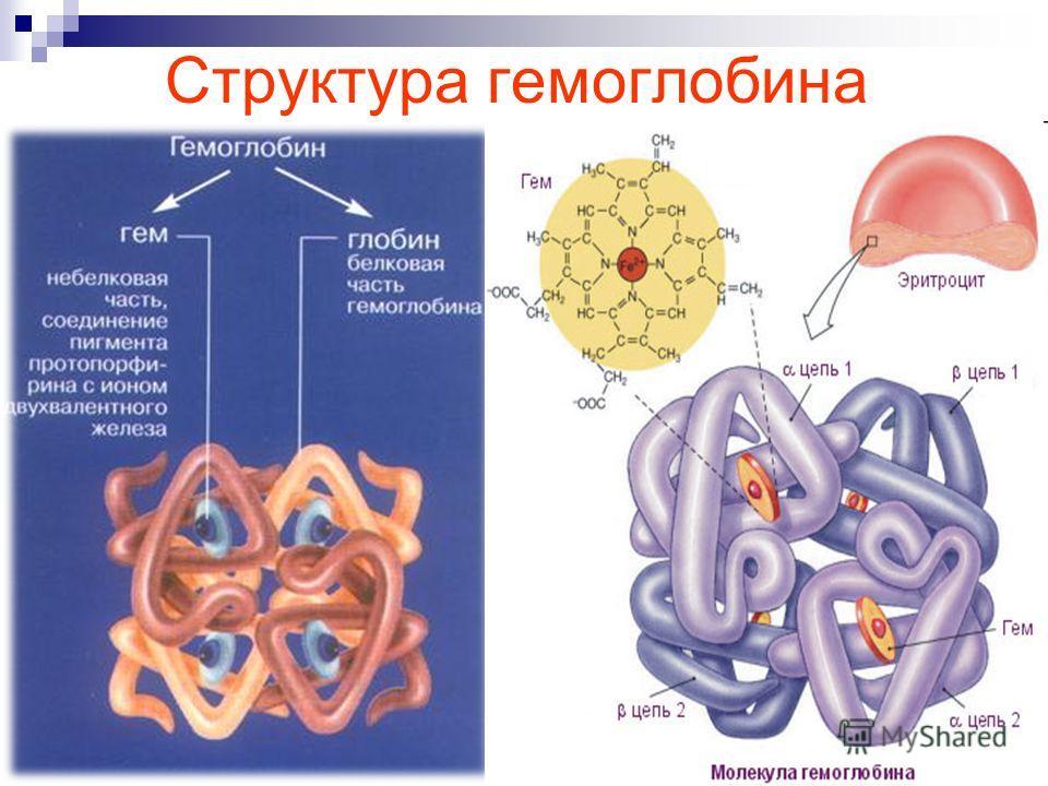 Структура гемоглобина