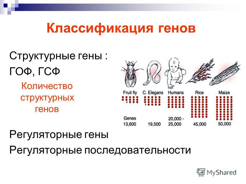 Классификация генов Структурные гены : ГОФ, ГСФ Регуляторные гены Регуляторные последовательности Количество структурных генов