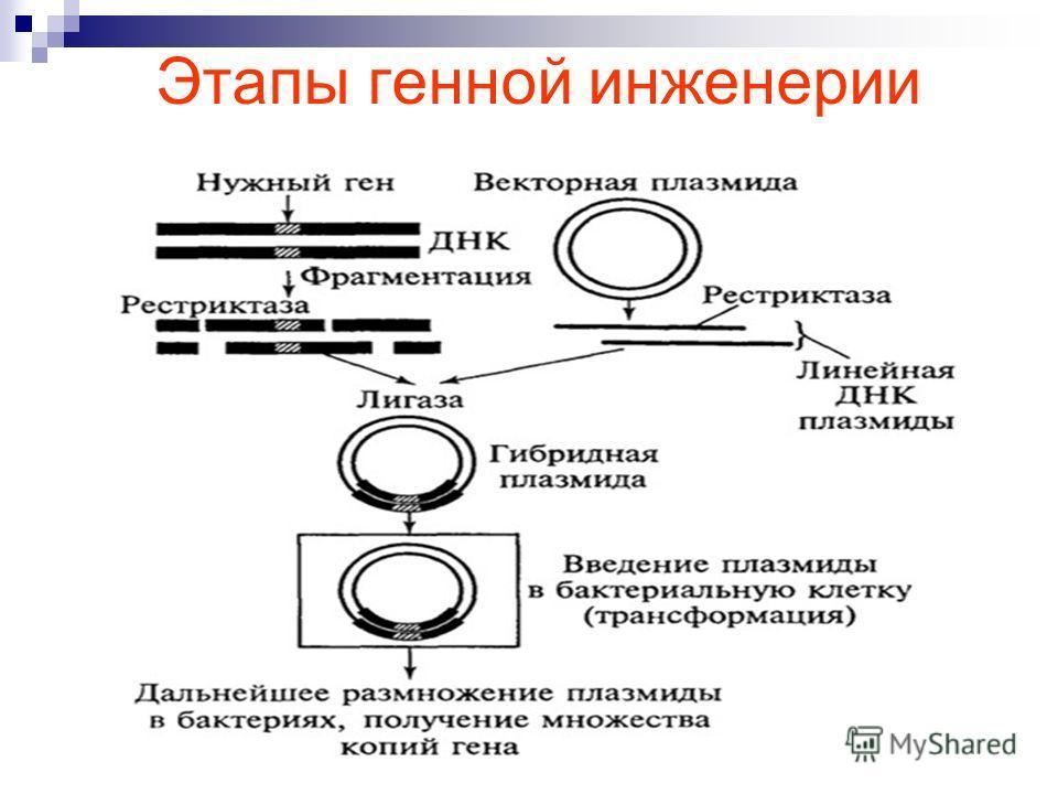 Этапы генной инженерии
