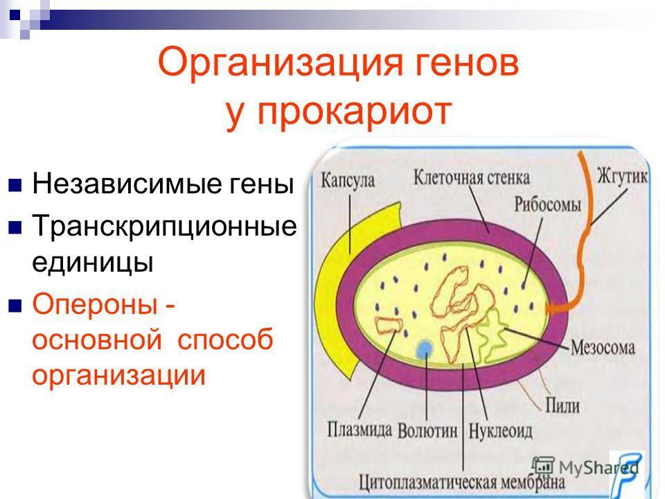 Организация генов у прокариот Независимые гены Транскрипционные единицы Опероны - основной способ организации